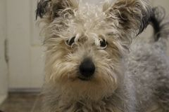 Cute little rescue mixed breed dog with dirty and scruffy fur looking at camera. Cute little rescue mixed breed dog with dirty and scruffy fur Royalty Free Stock Photos