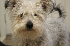 Cute little rescue mixed breed dog with dirty and scruffy fur looking at camera. Cute little rescue mixed breed dog with dirty and scruffy fur Stock Image