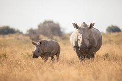 A cute little rhino and its mother. I made this photo with a canon camera. Both where very friendly and they came close to the car. It was a very special moment royalty free stock photo
