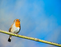 Cute little robin bird singing Royalty Free Stock Image