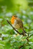 A cute little Robin Redbreast. A photo of a cute little Robin redbreast sitting on a branch Stock Images