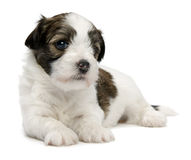 Cute little sable havanese puppy Stock Photos