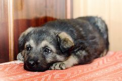 Cute little sad puppy. Close-up royalty free stock photos