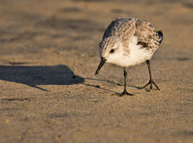 Cute little Sandpiper Royalty Free Stock Images