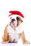 Cute little santa english bulldog Stock Photos