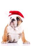Cute little santa english bulldog Stock Photos