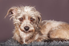Cute Little Scruffy Terrier Dog Grey Background Royalty Free Stock Images