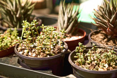 Cute little Sedum rubrotinctum succulents in pots at a plant store. Houseplants sale close-up in a shop window royalty free stock photos