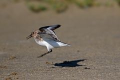 Semipalmated Sandpiper Touching Down Royalty Free Stock Photography