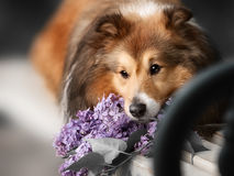 Cute little Sheltie dog with a bouquet of flowers Stock Photography