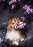 Cute little Sheltie dog with a bouquet of flowers Stock Image