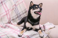 Cute little Shiba Inu dog lying on couch Royalty Free Stock Photography