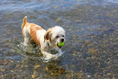 Cute Little Shih Tzu Dog with a ball on the beach. Wet Little Shih Tzu Dog fetching a tennis ball from the water, having fun on the beach stock photography