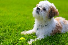 Cute Little Shih Tzu Dog lying on the grass. Outdoor Portrait of a adorable Shih Tzu Dog lying with a tennis ball on the grass stock image