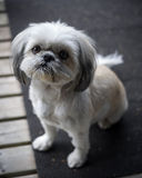 Cute, Little Shih Tzu Puppy Looks up into Camera. A small and cute Shih Tzu puppy dog sitting and looking up into the camera stock photography