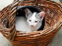 Cute little short-haired cat sitting in a basket royalty free stock image