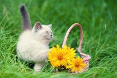 Cute little siamese kitten near a basket with flowers royalty free stock image