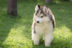 Cute little siberian husky puppy playing. In green grass Royalty Free Stock Photography
