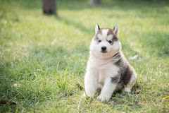 Cute little siberian husky puppy sitting royalty free stock images