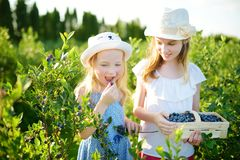 Cute little sisters picking fresh berries on organic blueberry farm on warm and sunny summer day. Fresh healthy organic food for s stock images