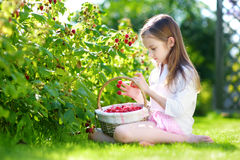 Cute little sisters picking fresh berries on organic raspberry farm on sunny summer day Royalty Free Stock Image
