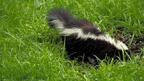 Cute little skunk. Small young skunk eating birdseed from a backyard feeder stock footage
