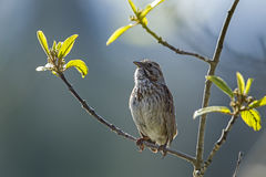 Cute little song sparrow. A small song sparrow is perched on a branch in Idaho Stock Photo
