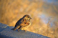 Cute little sparrow Stock Image