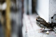 Cute little sparrow Stock Images