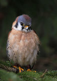 Cute Little Sparrow Hawk Royalty Free Stock Photography