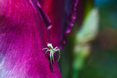 Cute little spider on the petal violet gladiolus closeup Royalty Free Stock Photo