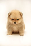 Cute little spitz. Cute little puppy on white background Royalty Free Stock Photos