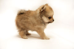 Cute little spitz Stock Photography