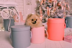 Cute little spitz dog in the box on the background of the Christmas tree stock image