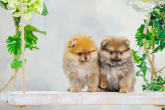 Cute little spitz dog puppies Royalty Free Stock Photo