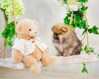 Cute little spitz dog puppy Royalty Free Stock Image