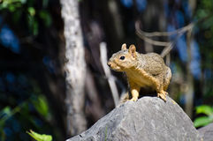 Cute Little Squirrel Alert on a Rock Stock Photo