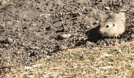 Cute little Squirrel. Canada, Calgary: Cute little Richardson Ground Squirrel (Ziesel) looking around on a dry meadow royalty free stock photography