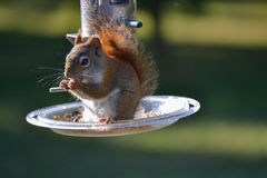 Cute Little Squirrel Feeding. From backyard bird feeder Stock Image