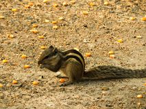 A cute little squirrel having three stripes on its body eating corn on floor of a park royalty free stock photography