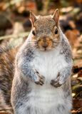 Cute little Squirrel looking on royalty free stock image