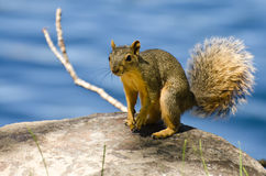 Cute Little Squirrel Resting on a Rock Stock Photos