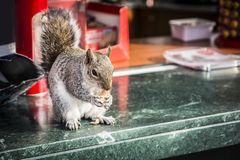 Cute squirrel stealing nuts from outdoor bar stock image