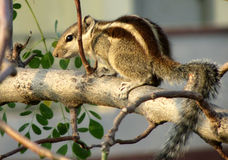 Cute little squirrel Royalty Free Stock Photo