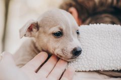 Cute little staff terrier puppy in cozy warm blanket in autumn park. Hand caressing scared homeless beige puppy in city street. Adoption concept. Dog shelter royalty free stock photo