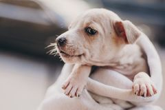 Cute little staff terrier puppy in cozy warm blanket in autumn park. Hand holding scared homeless beige puppy in city street. Adoption concept. Dog shelter royalty free stock photography