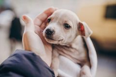 Cute little staff terrier puppy in cozy warm blanket in autumn park. Hand hugging scared homeless beige puppy in city street. stock photography