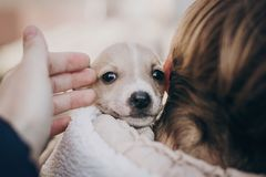 Cute little staff terrier puppy in cozy warm blanket in autumn park. Hand hugging scared homeless beige puppy in city street. Adoption concept. Dog shelter stock photos