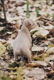 Cute little staff terrier puppy walking in autumn park. Scared homeless beige puppy playing in city street. Adoption concept. Dog. Shelter royalty free stock photography