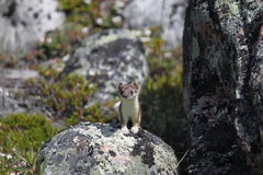 Cute little stoat staring from a rock. Near Arviat Royalty Free Stock Image